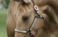 Heat Stroke Management in Horses- Interview with Dr Sammara, Veterinary Surgeon