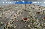 Spanvall Poultry Bedding considerably reduces pododermatitis/footpad burns