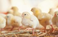 OBSERVING CHICKS' RESPONSE TO TEMPERATURE