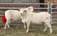 Woolless Sheep – Importing and Exporting the Australian White Sheep