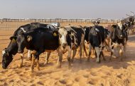 Mazoon Dairy receives the second batch of 2,625 heads of cows