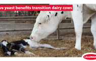 Live yeast benefits transition dairy cows