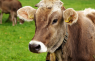 BYCHOL, THE NEW CHOLINE CHLORIDE BYPASS FOR RUMINANTS