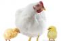 Reduce antibiotic usage with FRA® C12