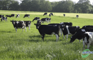 Pica in dairy cows – what is it and how best to treat it