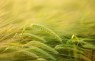 Harvest begins with barley, or winter barley, to be precise