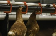 Want to reduce spillage of untrimmed laying hens?