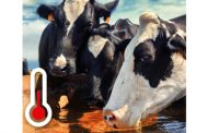 Summer heat stress in cows – better milk quality with Anco FIT