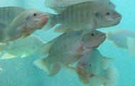 Syrena® Boost: Delacon enters aqua market