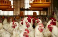 Boehringer Ingelheim launches trivalent poultry vaccine