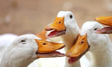 Anta®Ox FlavoSyn ensures high performance in duck farming