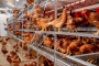GI-OVO Clean Compound® contributes to keeping your eggs production safe
