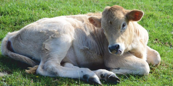 Advance newborn calves and colostrum management, why is it necessary?