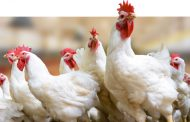 Evonik launches probiotic for chickens as effervescent tablet