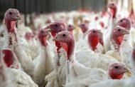 Tilling Turkey Litter: Obsolete or Essential?