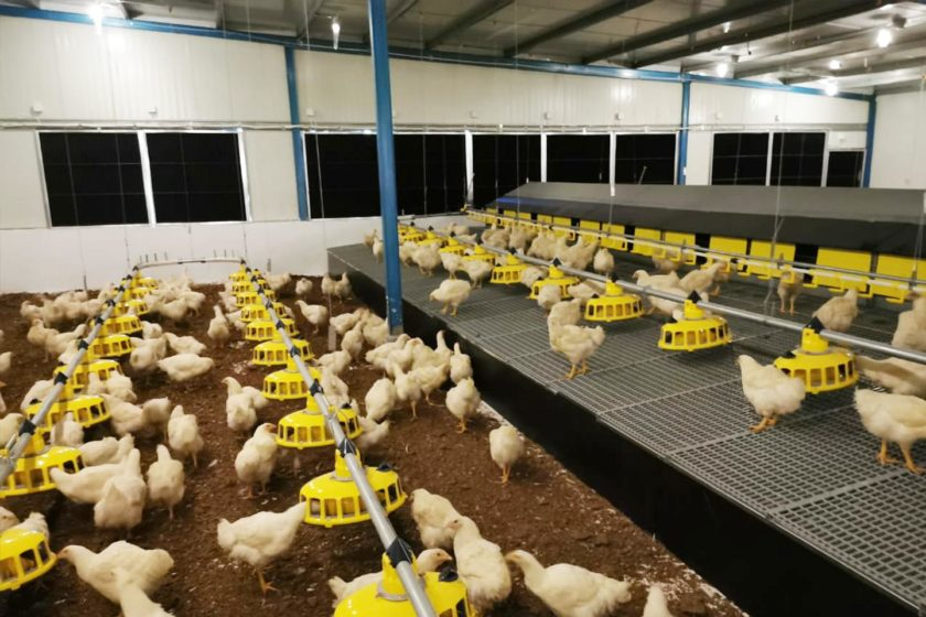 Market trend: broiler breeders + group nest = the perfect match