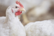 De Heus sells poultry slaughterhouses Van Miert to Clazing