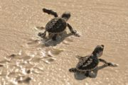 """""""Protect Baby Turtles"""" Program With Emirates Marine Environmental Group and Pampers"""