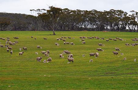 Legume pasture systems for improving sheep production