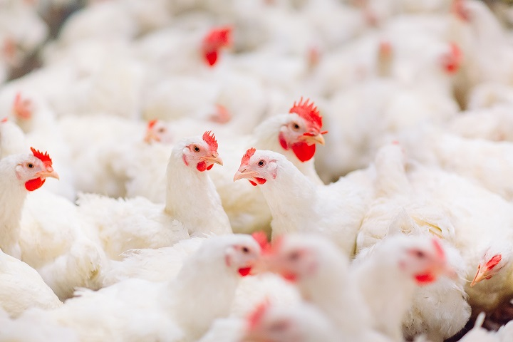 Chelated trace minerals help improve meat and carcass quality of modern broilers